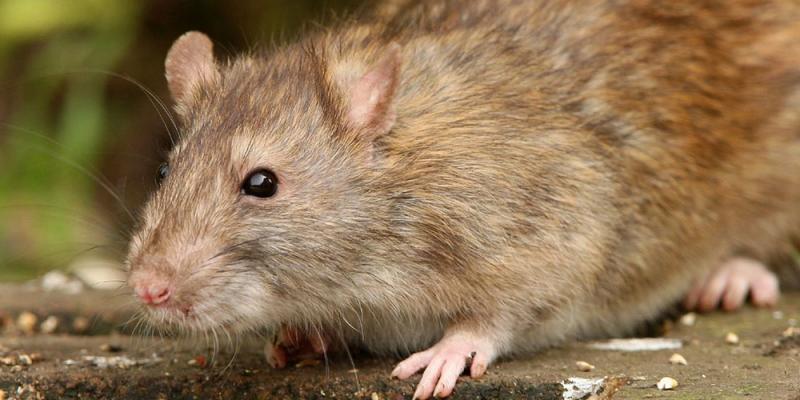 Photo d'un rat